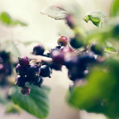 Schwarze Johannisbeeren sind eine regionale Alternative zu Goji-Beeren.