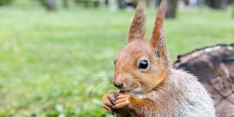 Ein glückliches Eichhörnchen mit seiner Nuss.