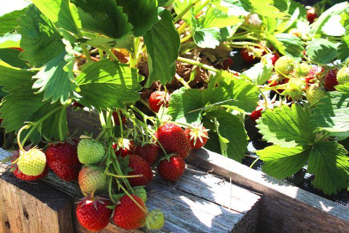 Erdbeeren im Garten.