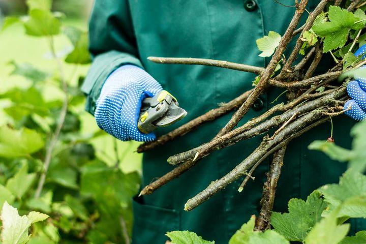 Äste kürzen und stutzen: eine Gartenaufgabe für den Herbst.