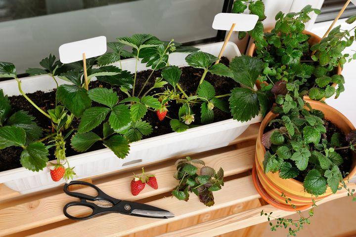 Erdbeeren auf dem Balkon ziehen.