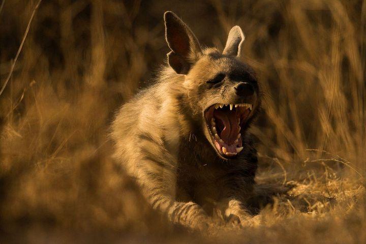 Hyäne im Jhalana National Park in Indien von Sohail Inzaman aus Indien, Kategorie Natur und Wildtiere, Sony World Photography Award 2019.