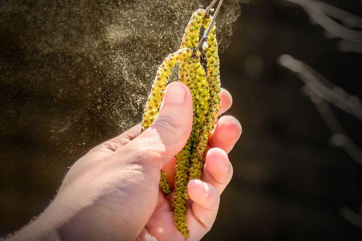 Birkenpollen sorgen für laufende Nasen und gerötete Augen.
