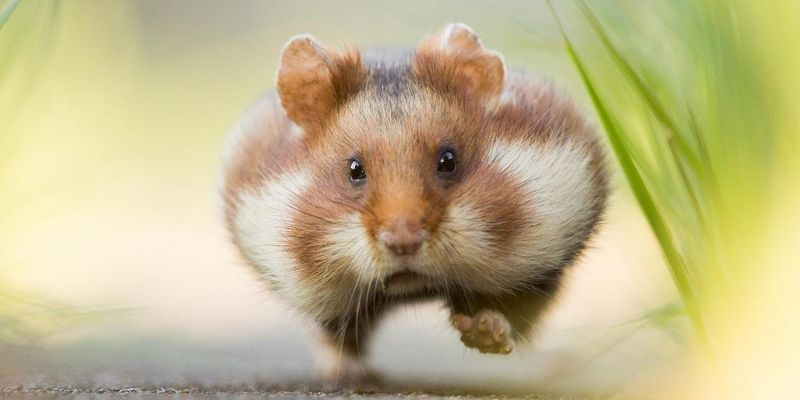 """Hastiger Hamster"""