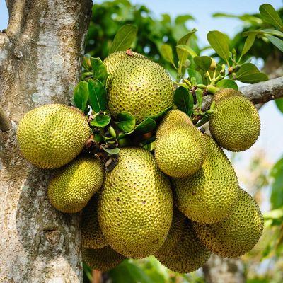 Die Jackfruit kommt aus den Tropen und wächst direkt am Baumstamm.
